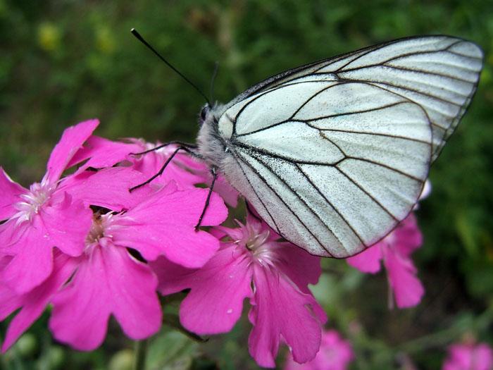 photo de papillon sur une fleur dans le champsaur proche de la maison en location